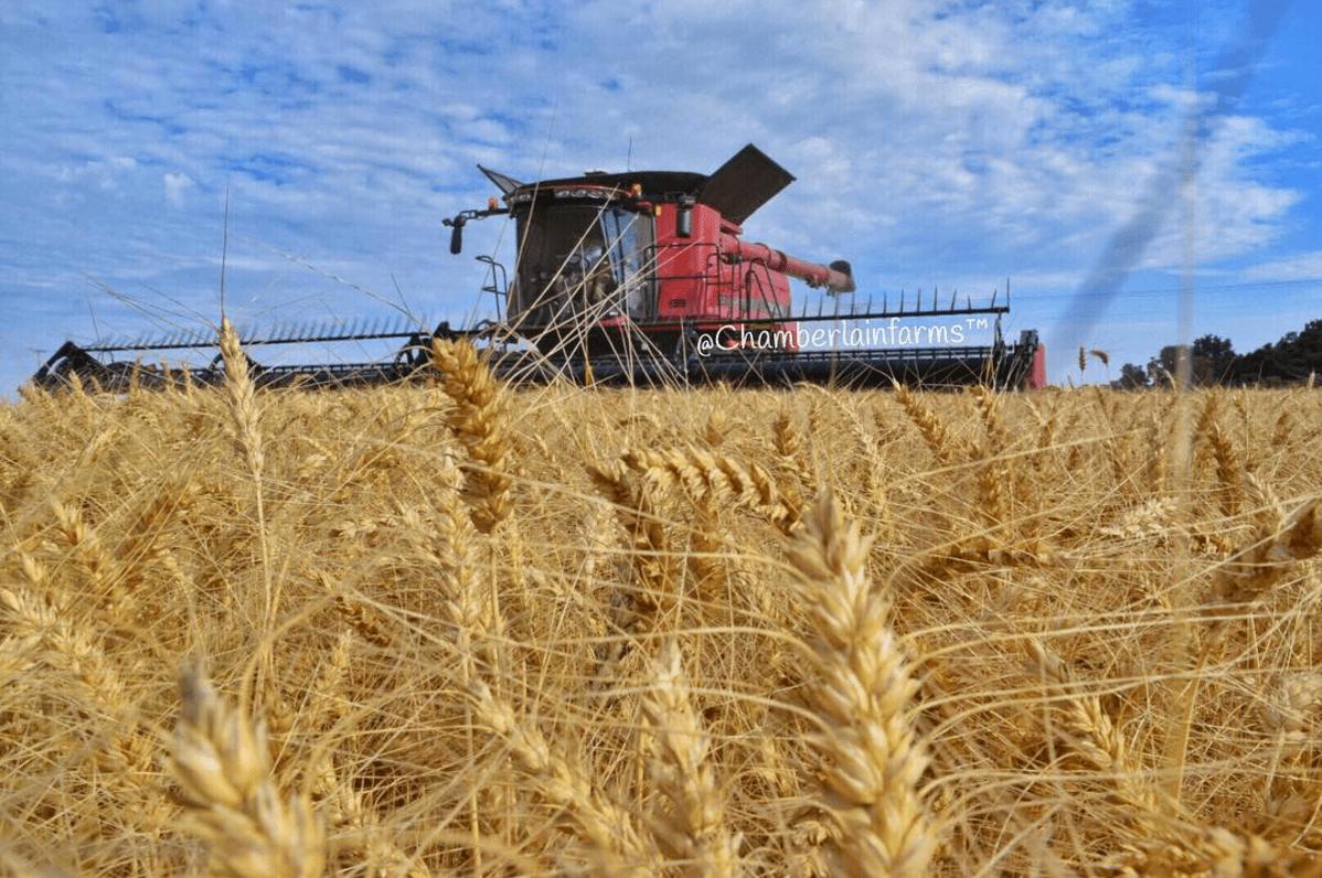 Wheat harvest on our family farm