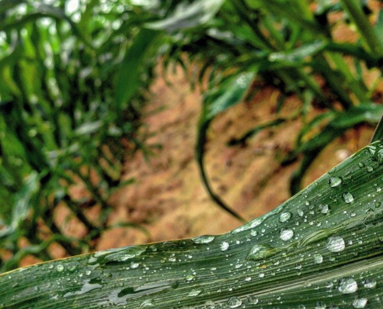Rainfall on one of Ethan's corn fields in Indiana