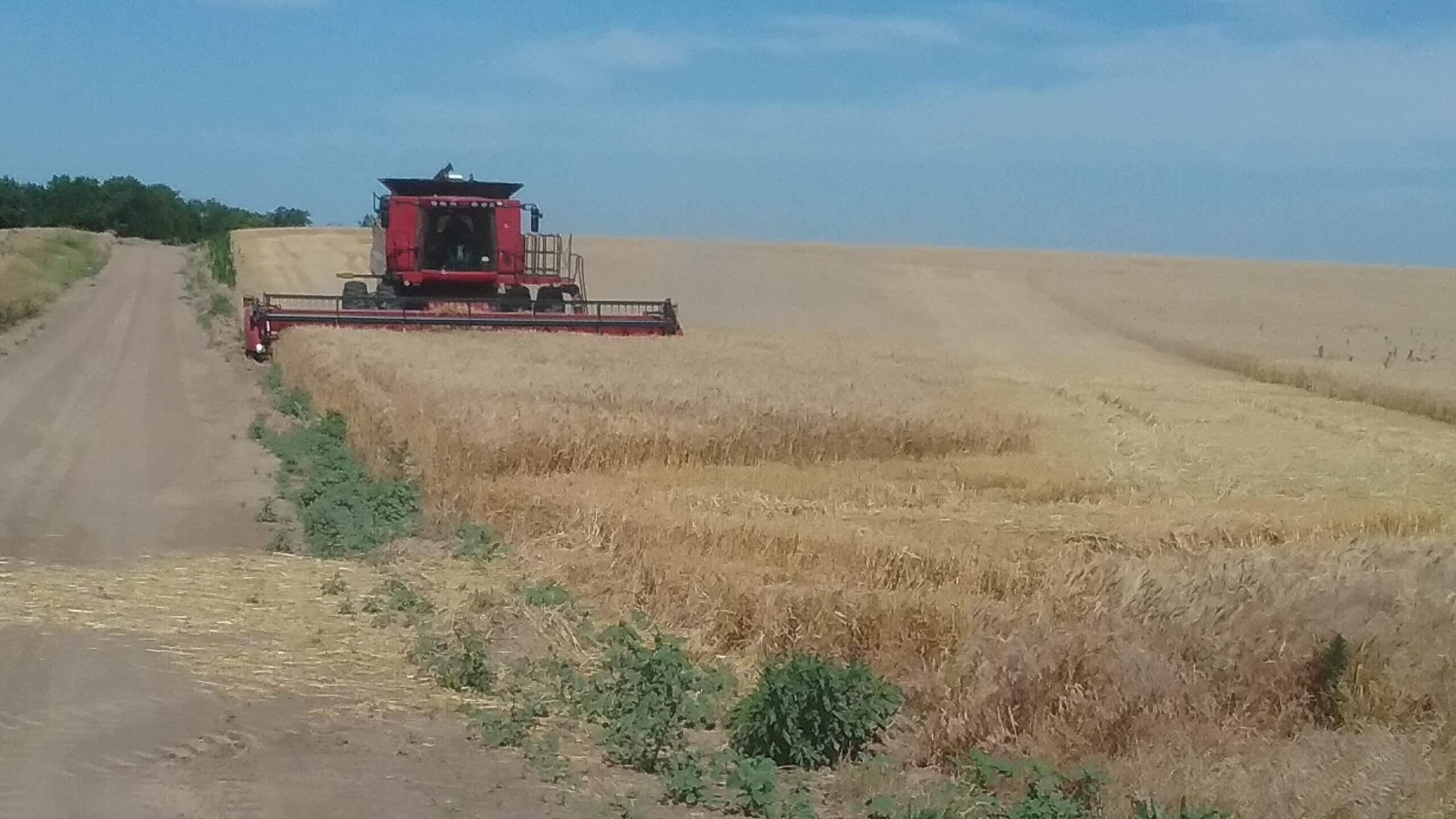 combine harvesting a wheat field in kansas