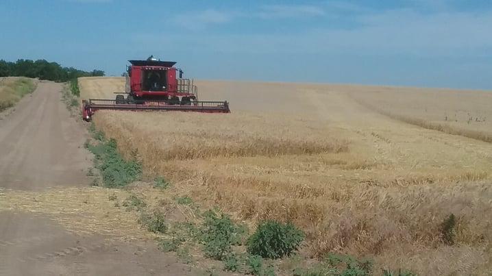 combine harvesting a wheat field in kansas