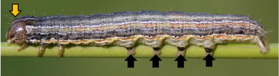 armyworm.png